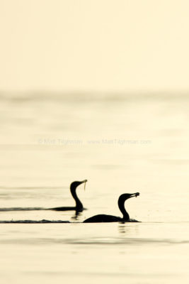 Breakfast Time - Cormorants at Sunrise