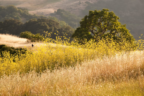 Fine art stock photograph of the afternoon sunshine lighting up a beautiful mustard bloom in early summer, in Calero County Park, California.
