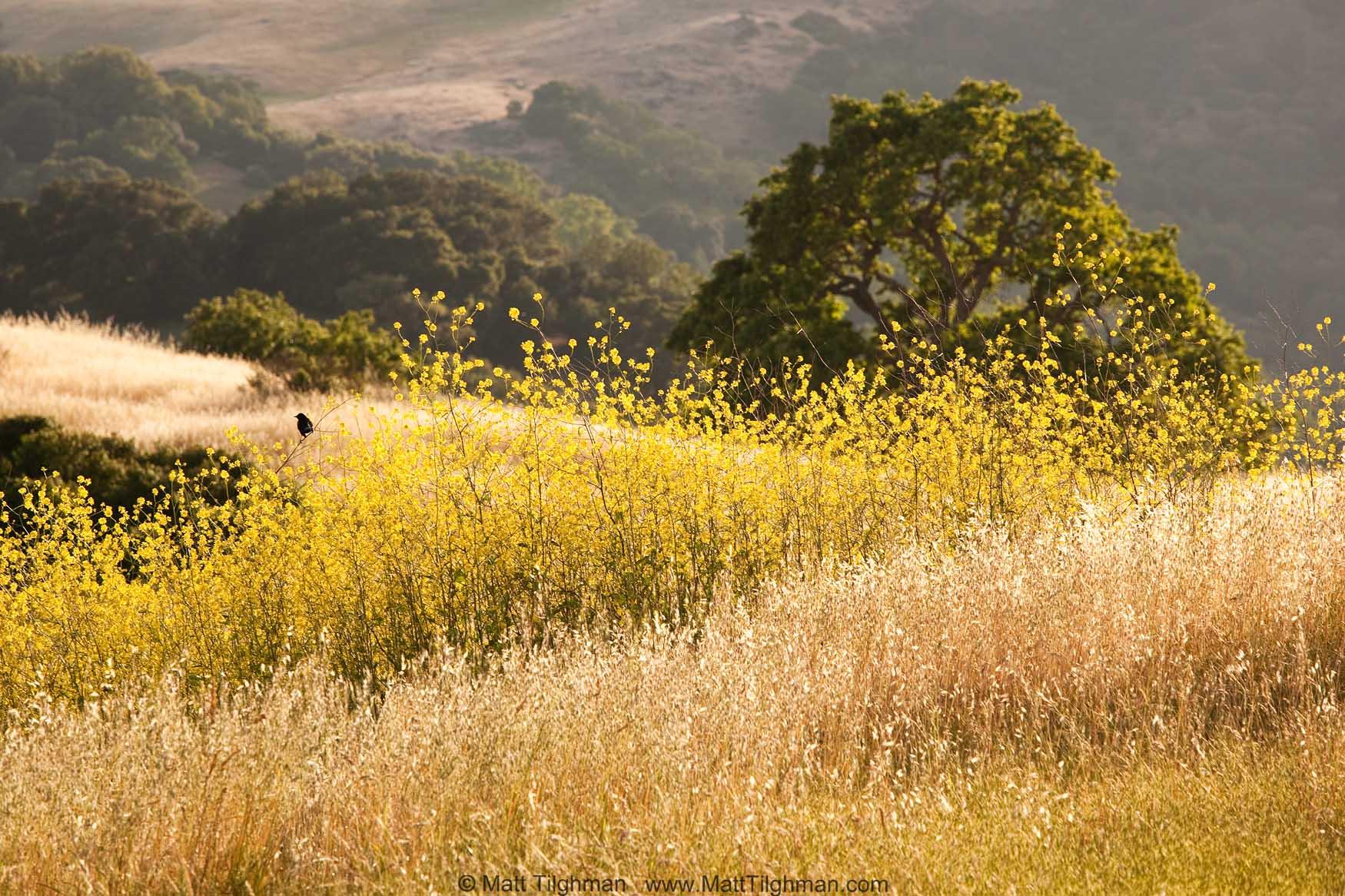 California Wild Mustard in Summer