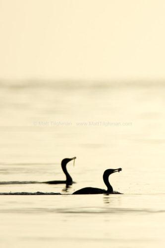 Breakfast Time - Cormorants at Sunrise
