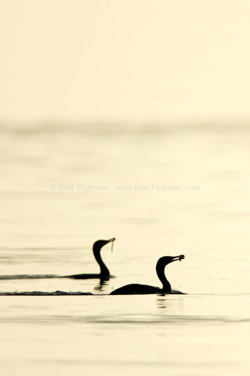 Fine art stock photograph of two cormorants at dawn. Off looking for breakfast, the front bird appears to have caught a fish, but the rear bird seems to have caught seaweed.