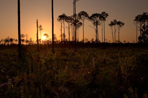 Fine art stock photograph of beautiful South Florida pine rockland forest in Picayune Strand State Forest, silhouetted against the sunset sky.