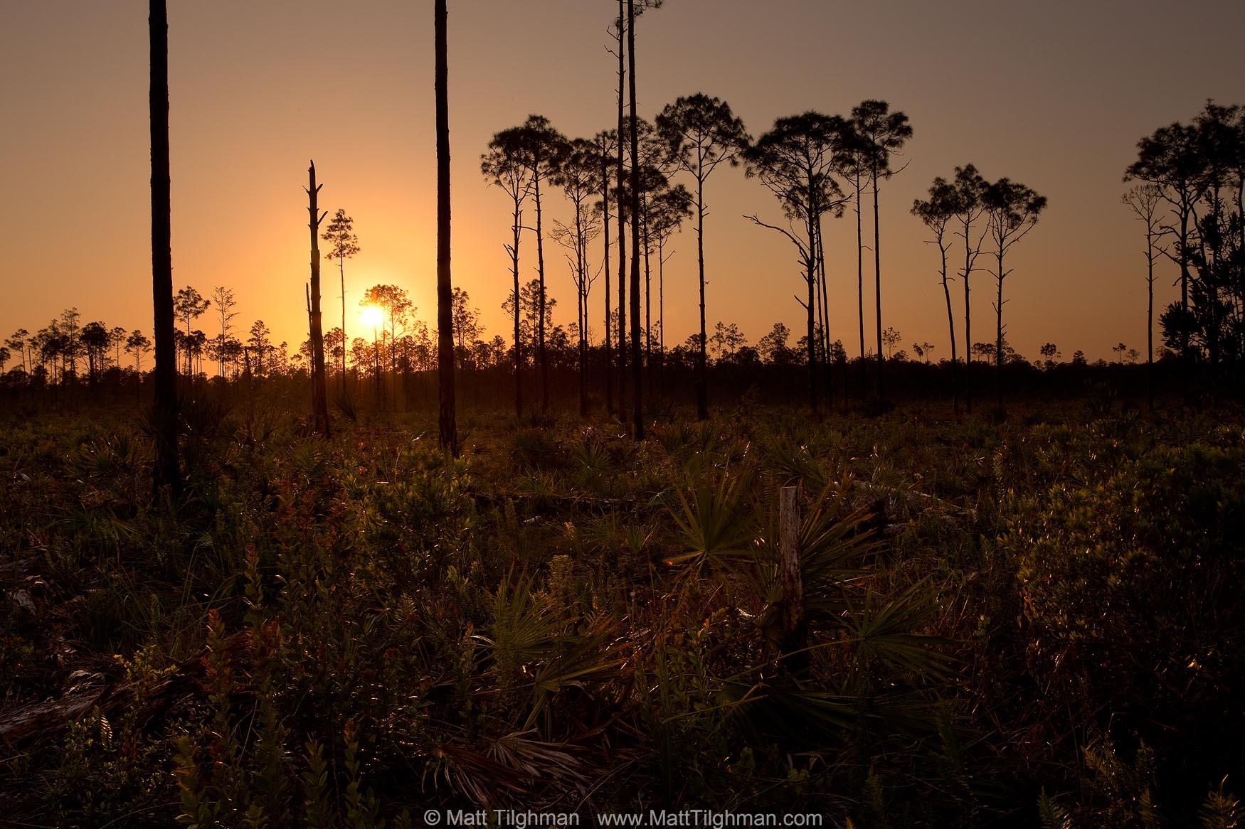 Florida Pine Rockland at Sunset