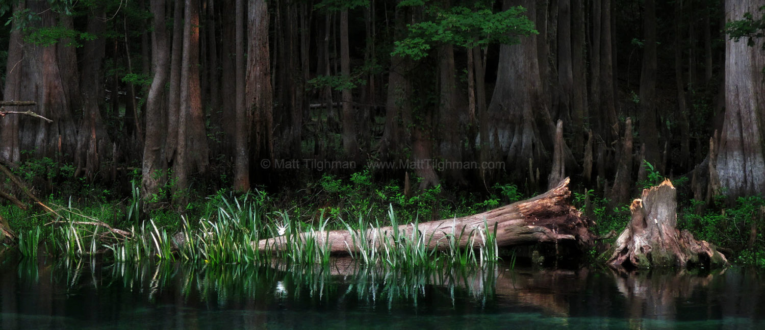 Fine art stock photograph from cypress forest along Florida's Ichetucknee River. The thick dark forest, the fallen log, and the lone ghostly flower combine to create an ethereal ambiance.