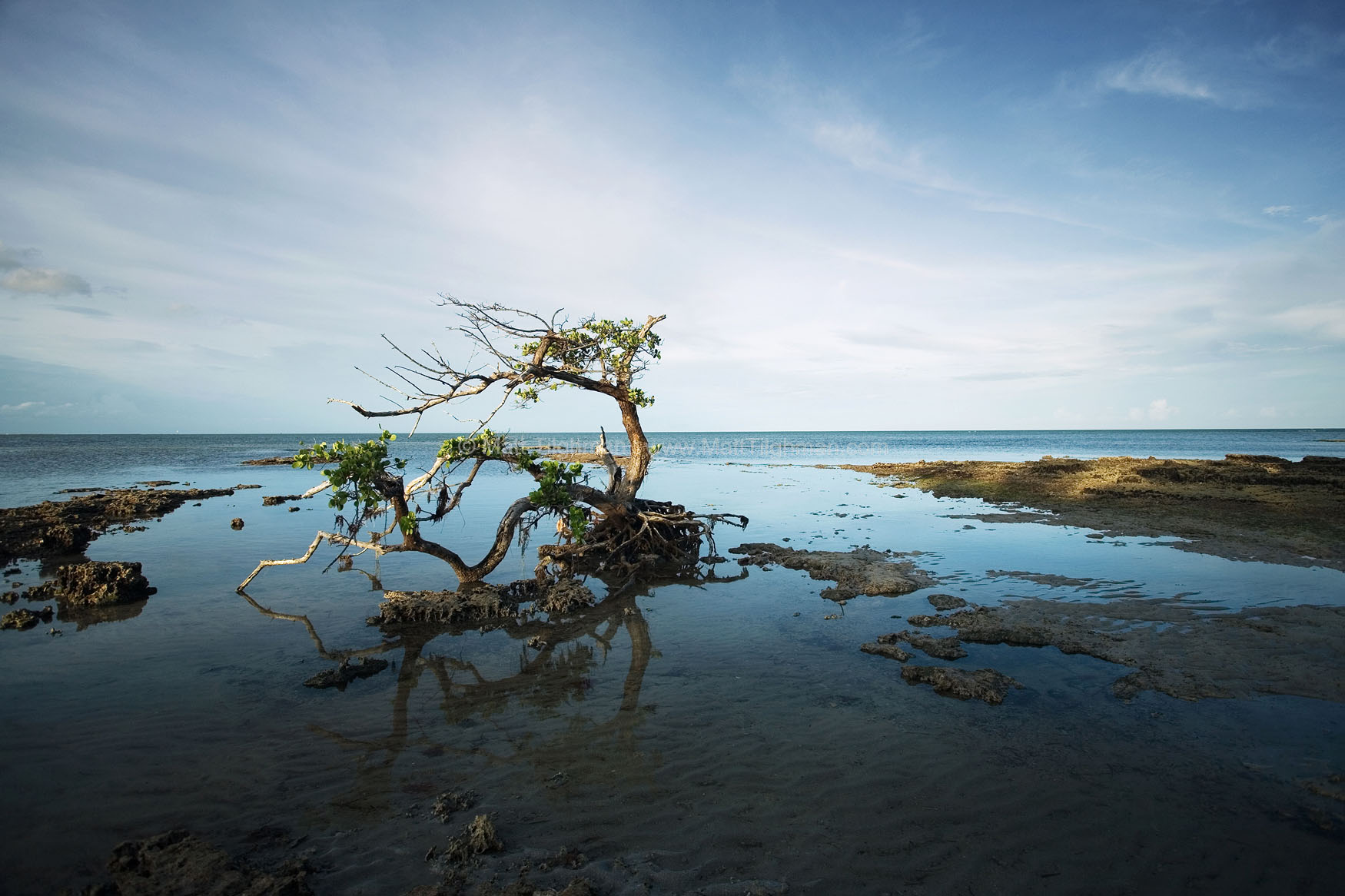 Fine art stock photograph of gnarled old mangrove tree in South Florida. The changing nature of barrier islands' coastline will doom this tree to becoming driftwood soon.