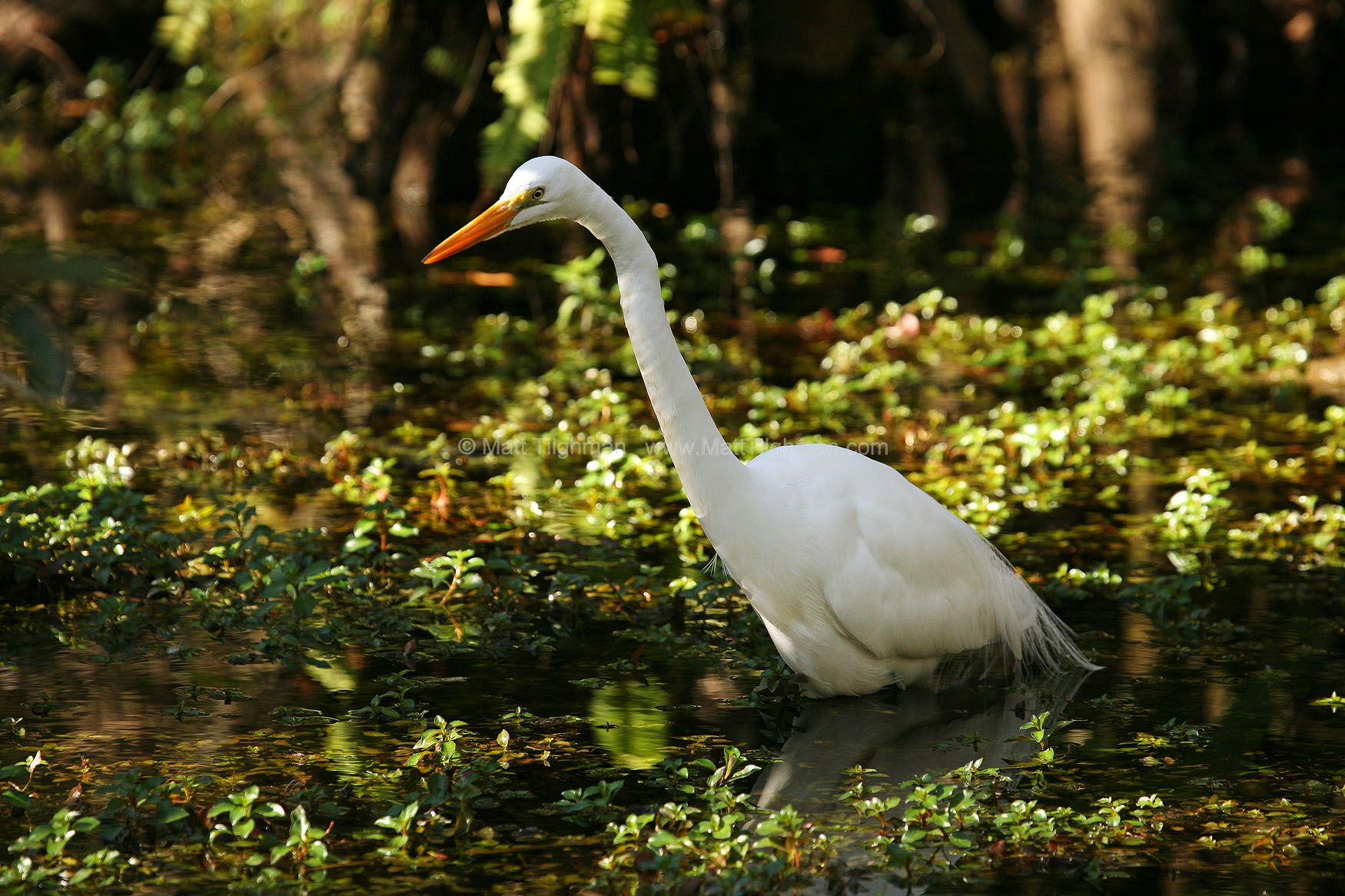 Fine art stock nature photograph of a Great Egret wading through the Florida Everglades.