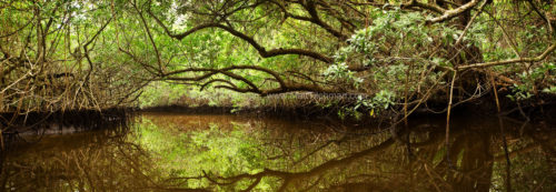 Fine art stock photograph from the Florida Everglades. This dense mangrove ecosystem is called Halfway Creek.