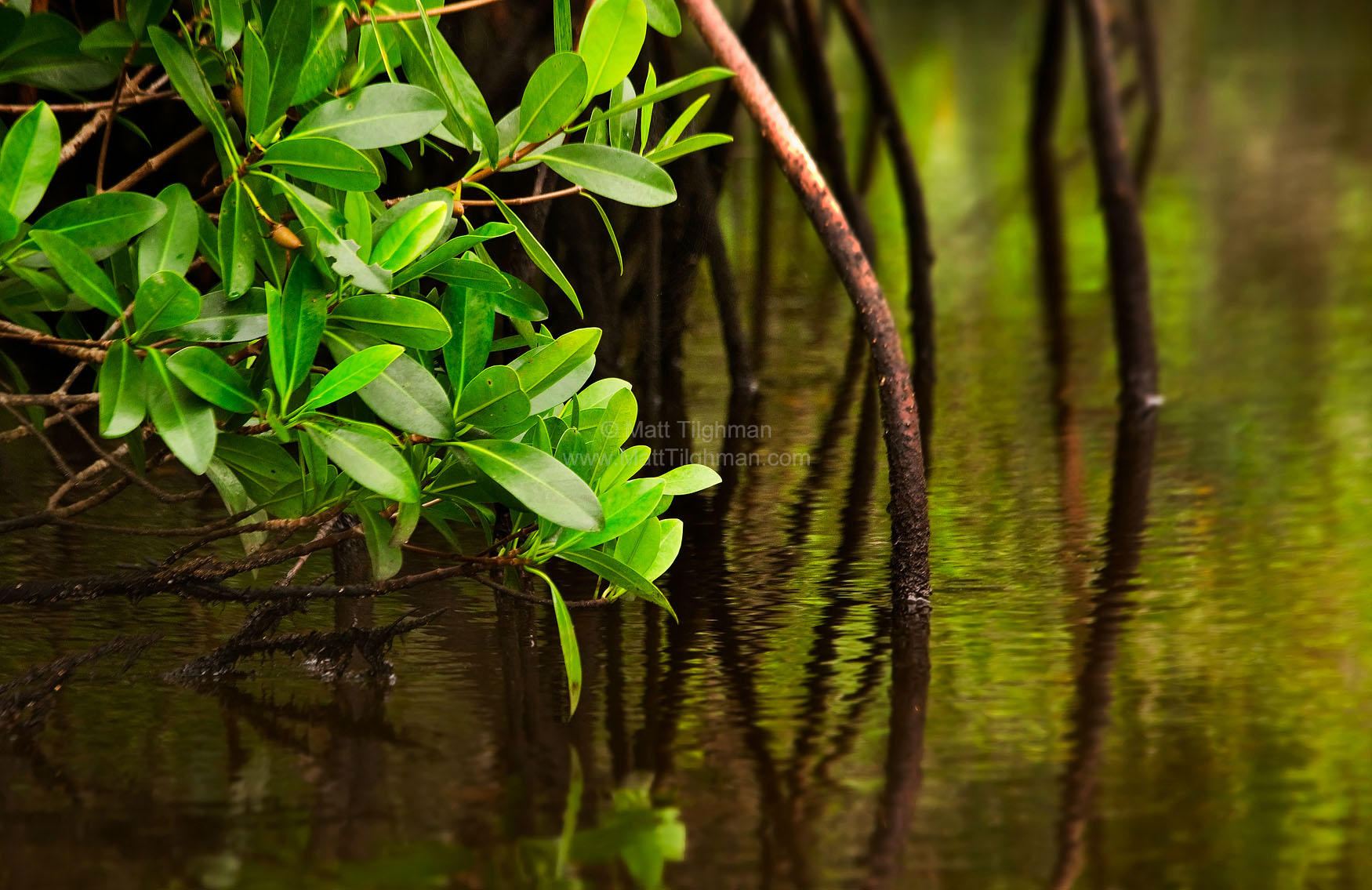 Fine art stock photograph of mangrove roots from Big Cypress Preserve. Canoeing down Halfway Creek, one passes through dense, pristine mangrove forest.