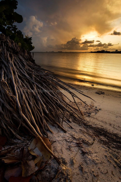 Fine art stock photograph of palm tree roots at sunset. Across the bay lies Miami, but on this portion of Key Biscayne, native foliage still rules the coastline.