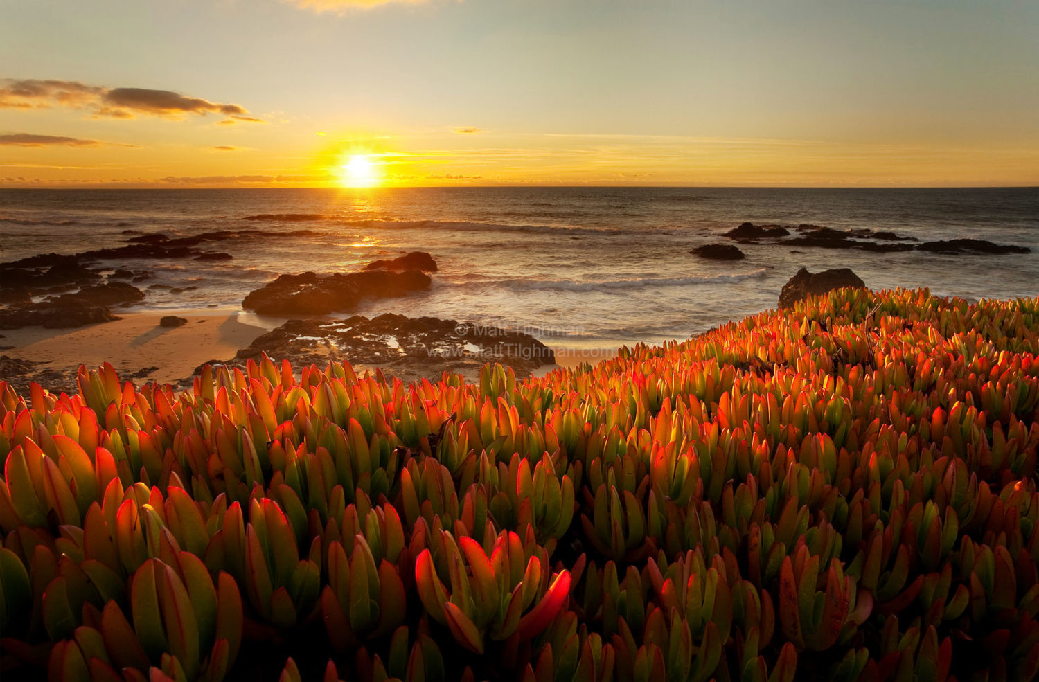 Fine art stock photograph of California's Pescadero Beach. A beautiful sunset back-lights the nonnative iceplant succulents.