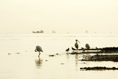Fine art stock photograph of wading birds at sunrise on Key Biscayne, Florida. Bear Cut Nature Preserve is true wilderness, but its proximity to Miami means reminders of civilization are unavoidable.