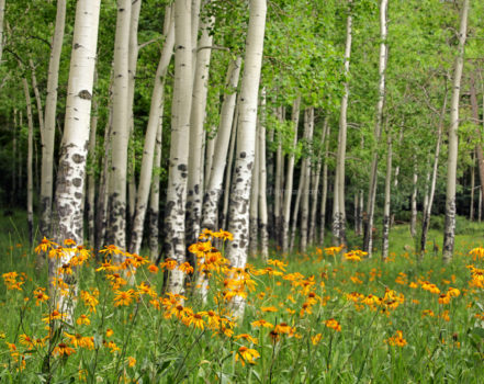 Fine art stock landscape photograph from the Valles Caldera area of New Mexico. The volcanic soil enables wildflowers and a lush aspen grove instead of desert.