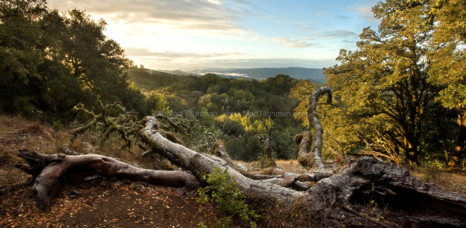 Fine art stock photograph from the Santa Cruz Mountains of California. This image shows the chaotic nature of the Oak Woodland landscape, after a rare snowfall.