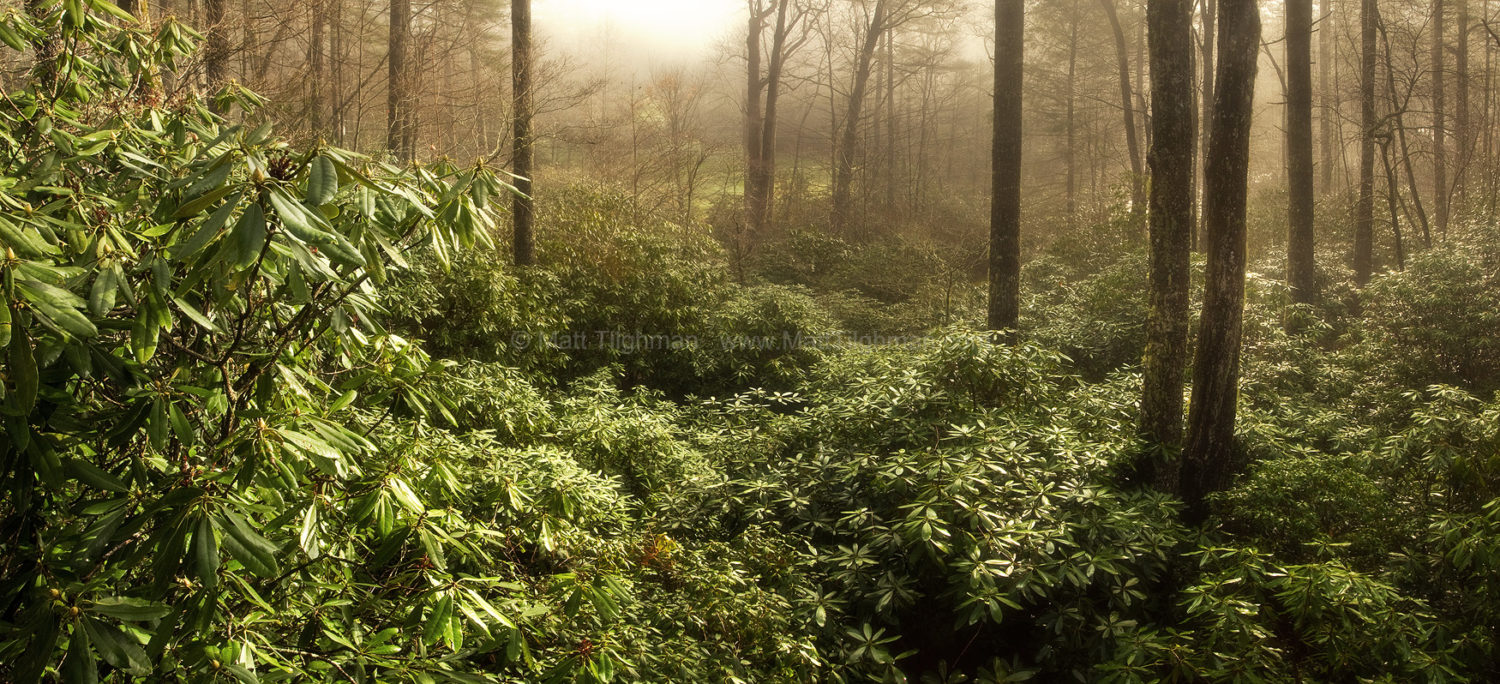 Fine art stock landscape photograph from North Carolina. As the sun pierces through the morning fog, the native rhododendron forest lights up gold and green.