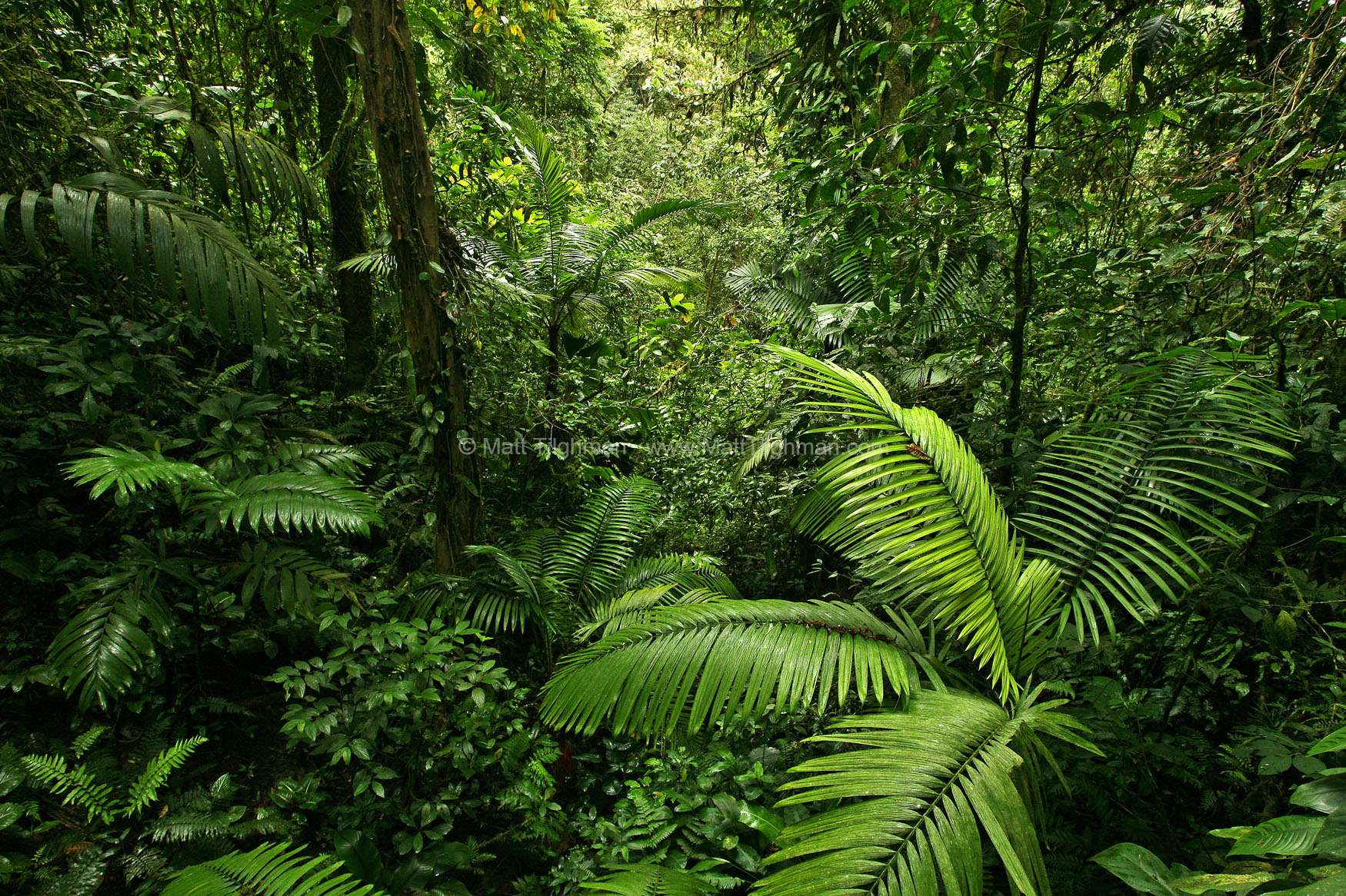 Fine art stock landscape photograph from Costa Rica's dense tropical rain forest. The palms, ferns, and trees all sing in unison, in a united shade of green.