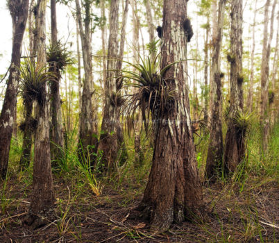 Fine art stock nature photograph of air plants in Big Cypress Preserve, Florida. Epiphytic bromeliads from the tillandsia genus cling to new growth cypress trees.