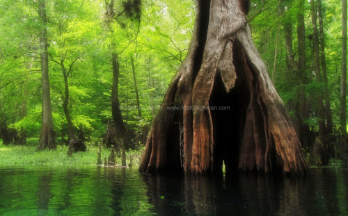 Fine art stock nature photograph from Florida's Ichectucknee River. The beautiful spring-fed waters are rivaled by the massive hollow cypress trees on its banks.