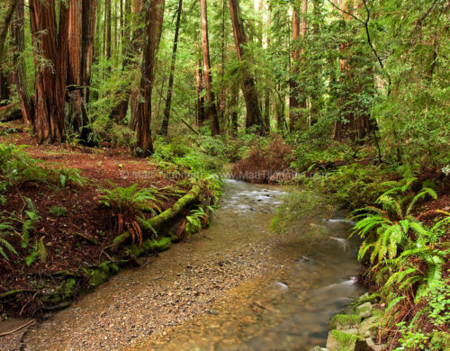 Fine art stock landscape photograph of a quiet stream and beautiful wet redwood forest in Muir Woods, California.