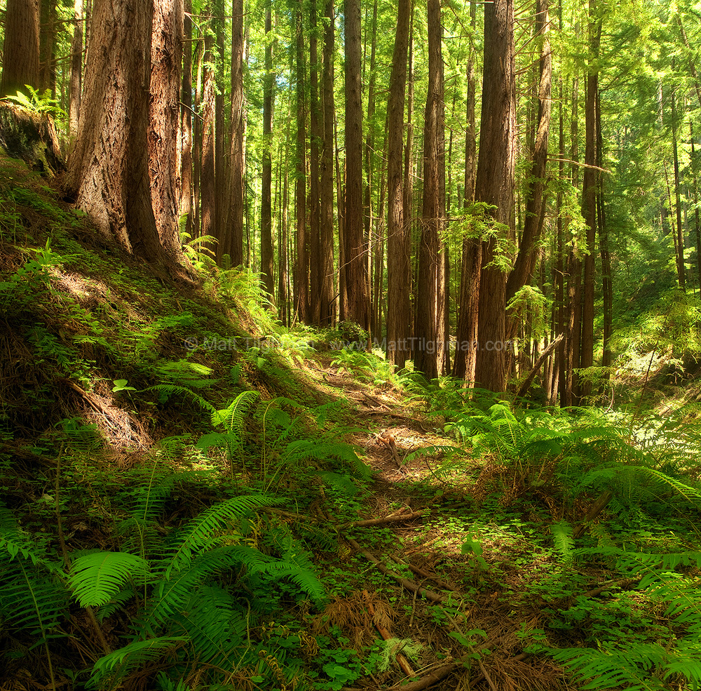 Fine art stock photograph California redwoods in the second-growth forests of Purisima Creek Open Space Preserve, on a hot dry summer day.