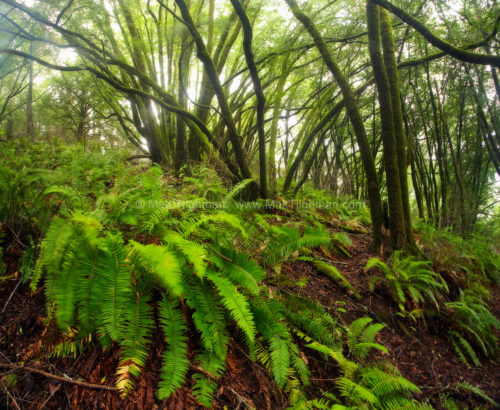 Fine art stock nature photograph from Samuel P Taylor State Park, California. Heavy rains bring lush greens back to the landscape after a prolonged drought.