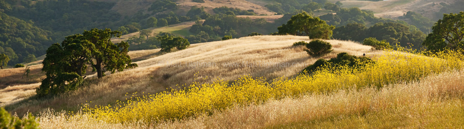 Fine art stock landscape photograph from Calero County Park, California. In early summer, the grass has already turned gold while mustard flowers still bloom.