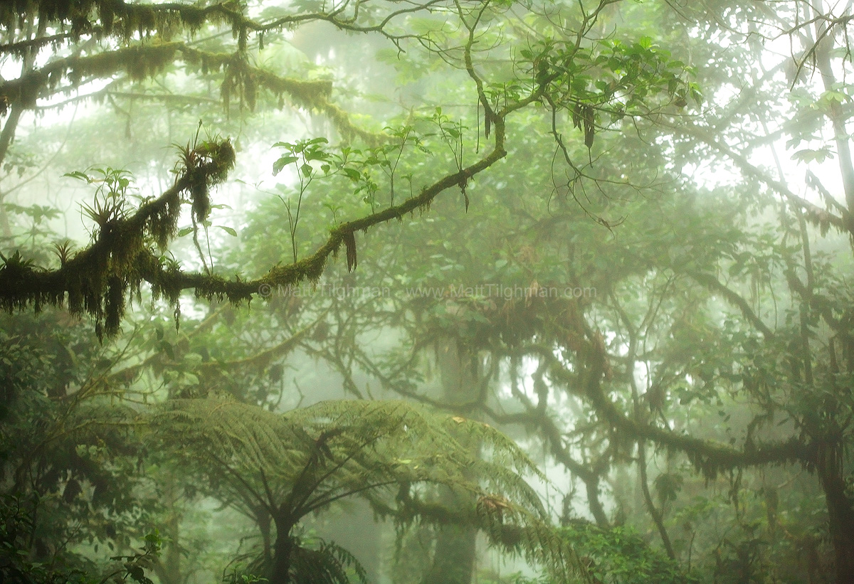 Fine art stock photograph of the Costa Rican cloud forest landscape. In this tropical jungle, plants fight for every bit of real estate - even on other plants.
