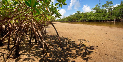 Fine art stock photo of mangrove coast in Florida's Von D. Mizell-Eula Johnson State Park. These protective ecosystems are vital to worldwide ocean health.
