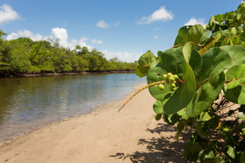 Fine art stock photograph of a Florida coastal icon, the ubiquitous sea grape (Coccoloba uvifera), alongside the mangrove forests of Whiskey Creek.