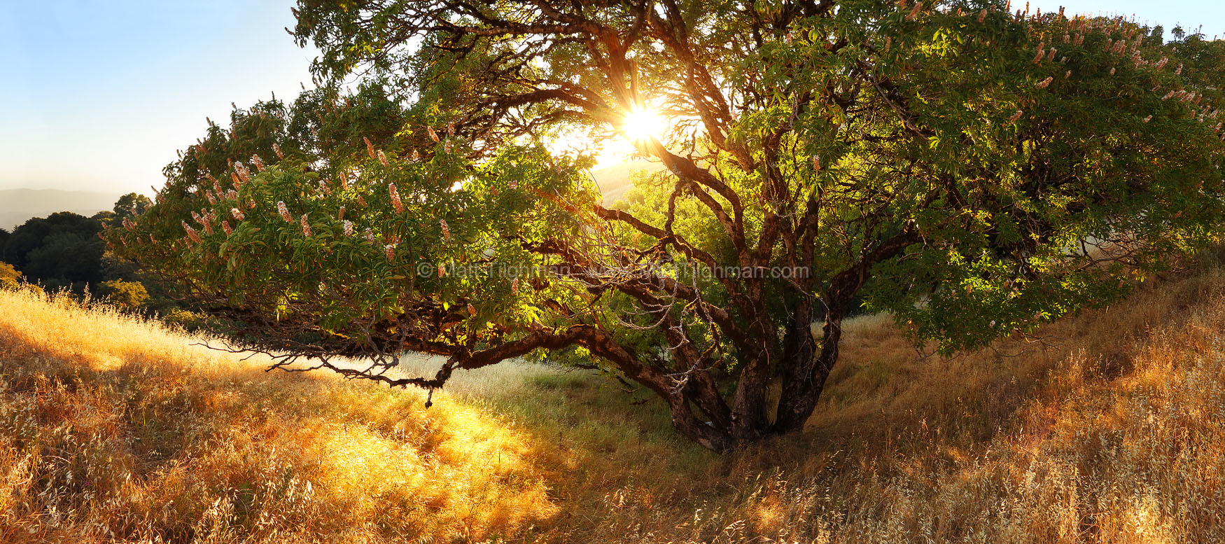 Fine art stock photograph of a stunning California Buckeye specimen in late afternoon. Taken in summer in the Santa Cruz Mountains, near Russian Ridge.