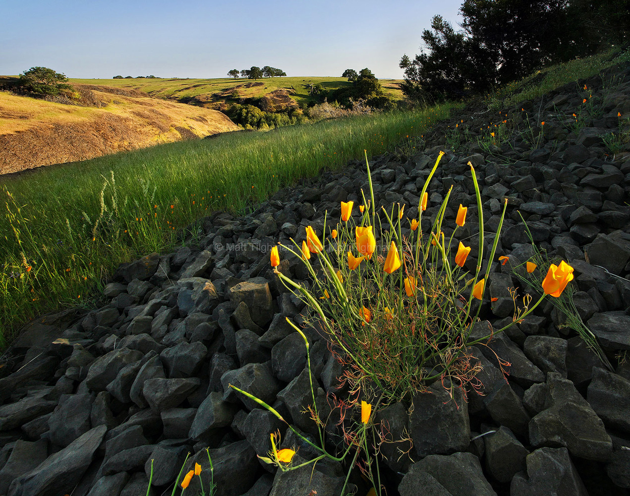 Fine art stock photograph from North Table Mountain, near Oroville California. The lush volcanic landscape hosts many wildflowers, like these California Poppies.