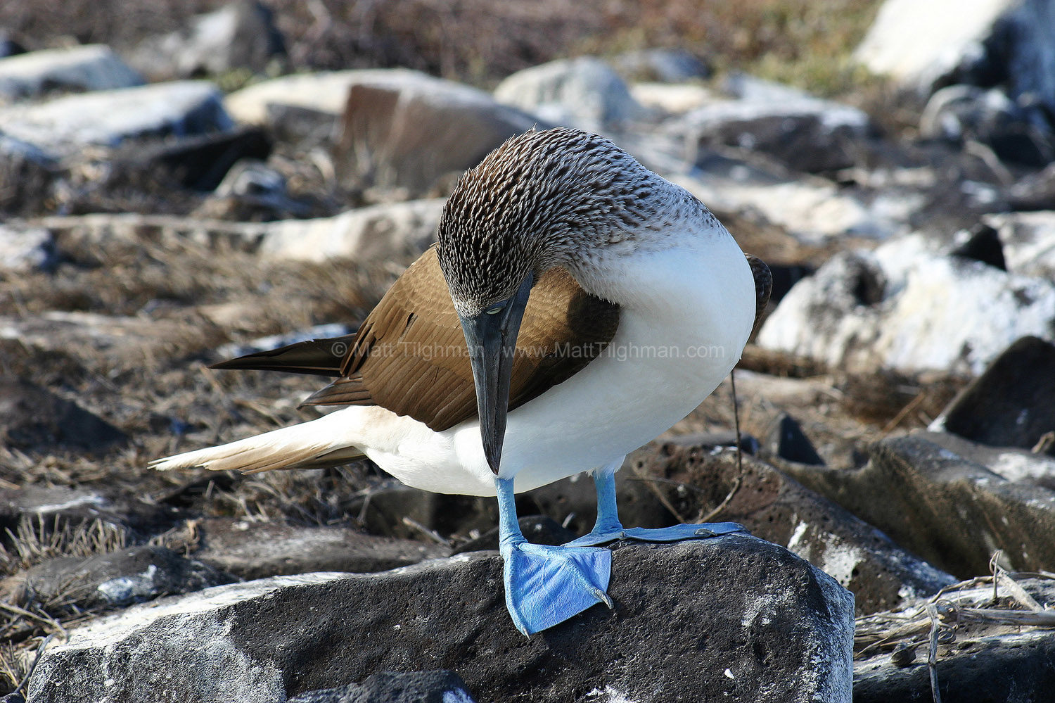 Fine art stock nature photograph of a Blue-footed booby, on the Galapagos Islands. The iconic bird checks out his blue feet - bluer attracts more mates!