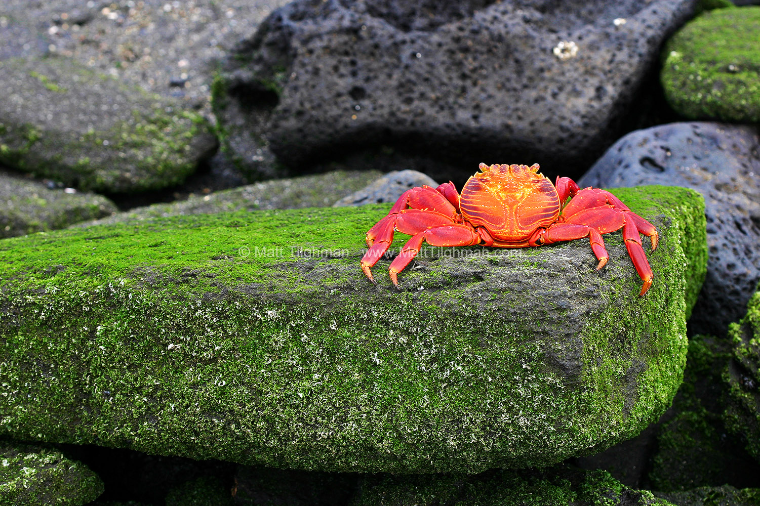 Fine art stock nature photograph of a Sally Lightfoot crab (Graspus graspus) atop an algae-covered rock, in the Galapagos Islands of Ecuador.