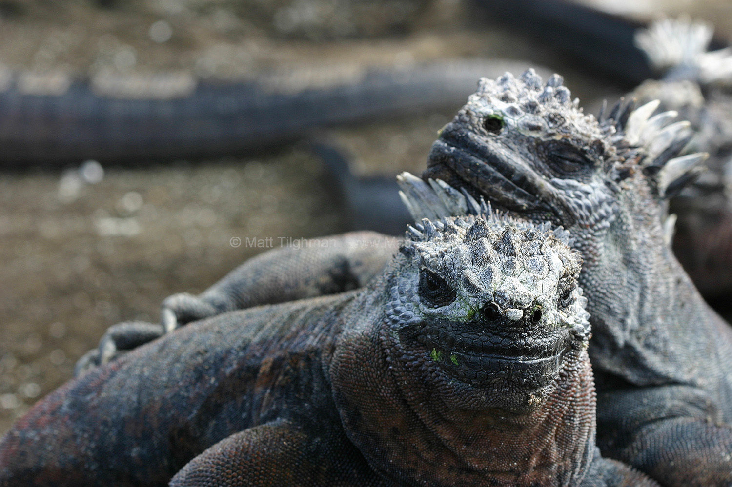 Fine art stock nature photograph of two cozy Marine Iguanas on the Galapagos Islands, recycling valuable body heat among friends.