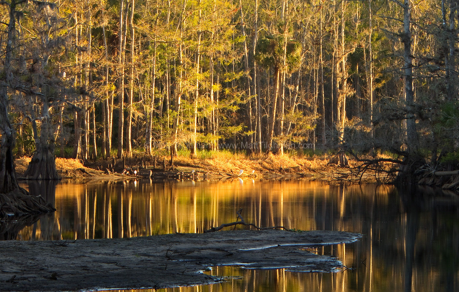 Fine art stock photograph from Fisheating Creek Wildlife Management Area, Florida. Dawn light flows down the creek bed, showing many birds looking for breakfast.