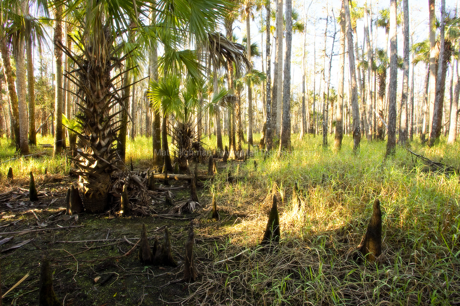 Fine art stock photograph of Florida forest by Fisheating Creek, near Lake Okeechobee. The morning sunlight turns the dew grass a brilliant gold.