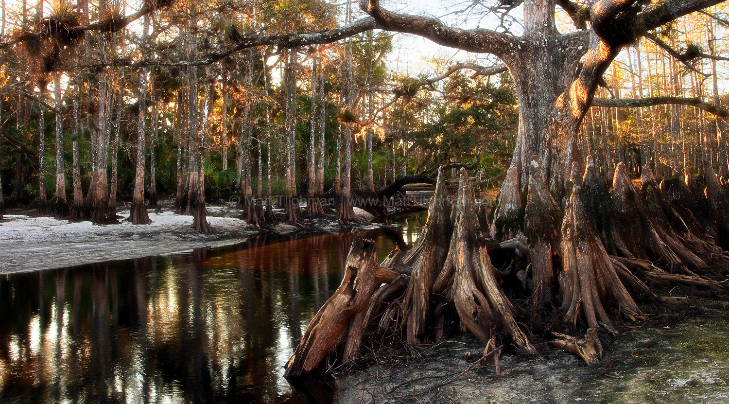 Fine art stock nature photograph, from Fisheating Creek in Central Florida. Memorial Tree, a giant bald cypress, stands sentry along the riverbanks.