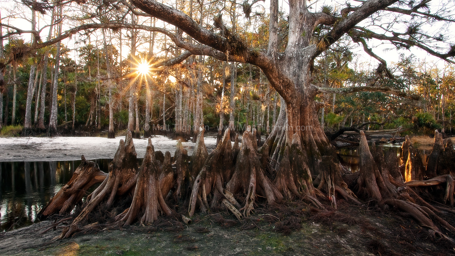 Fine art stock landscape photograph from the Florida cypress swamp along Fisheating Creek, showing the Memorial Tree at sunrise.