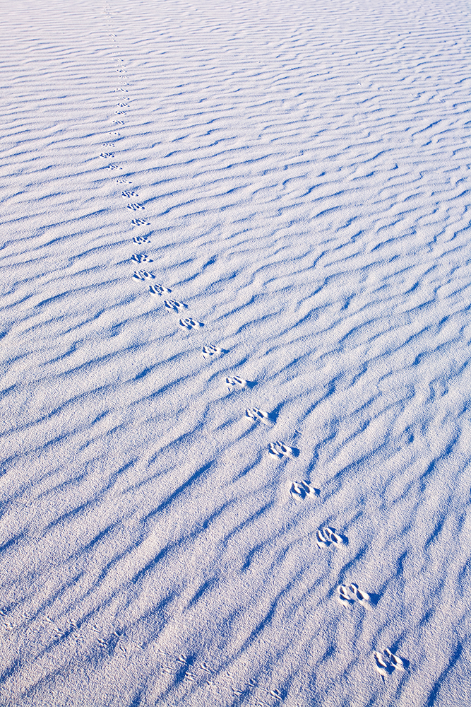 Fine art stock photograph from White Sands, New Mexico. Animal tracks left in the sand overnight are the only signs of life in these barren gypsum dunes.