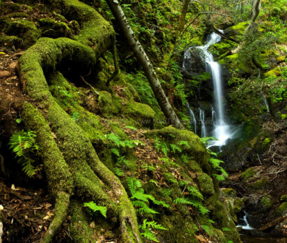 Fine art stock nature photograph from Uvas Canyon, California. Giant roots, moss, and fern all leap from the bedrock in this lush mountain forest.