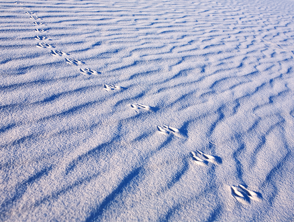 Fine art stock nature photograph from White Sands National Monument, New Mexico. Animal tracks are revealed by the dawn light, soon to be erased by wind.