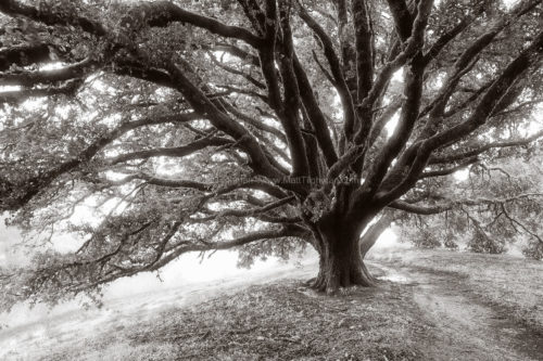 Fine art stock photograph of a massive oak tree in Russian Ridge Open Space -- a guardian angel watching over the California chaparral.