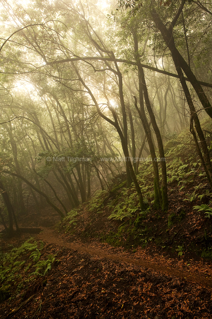 Fine art photograph of foggy forest hillside along the Black Mountain Trail in early morning. Located in Rancho San Antonio, in California's Bay Area.