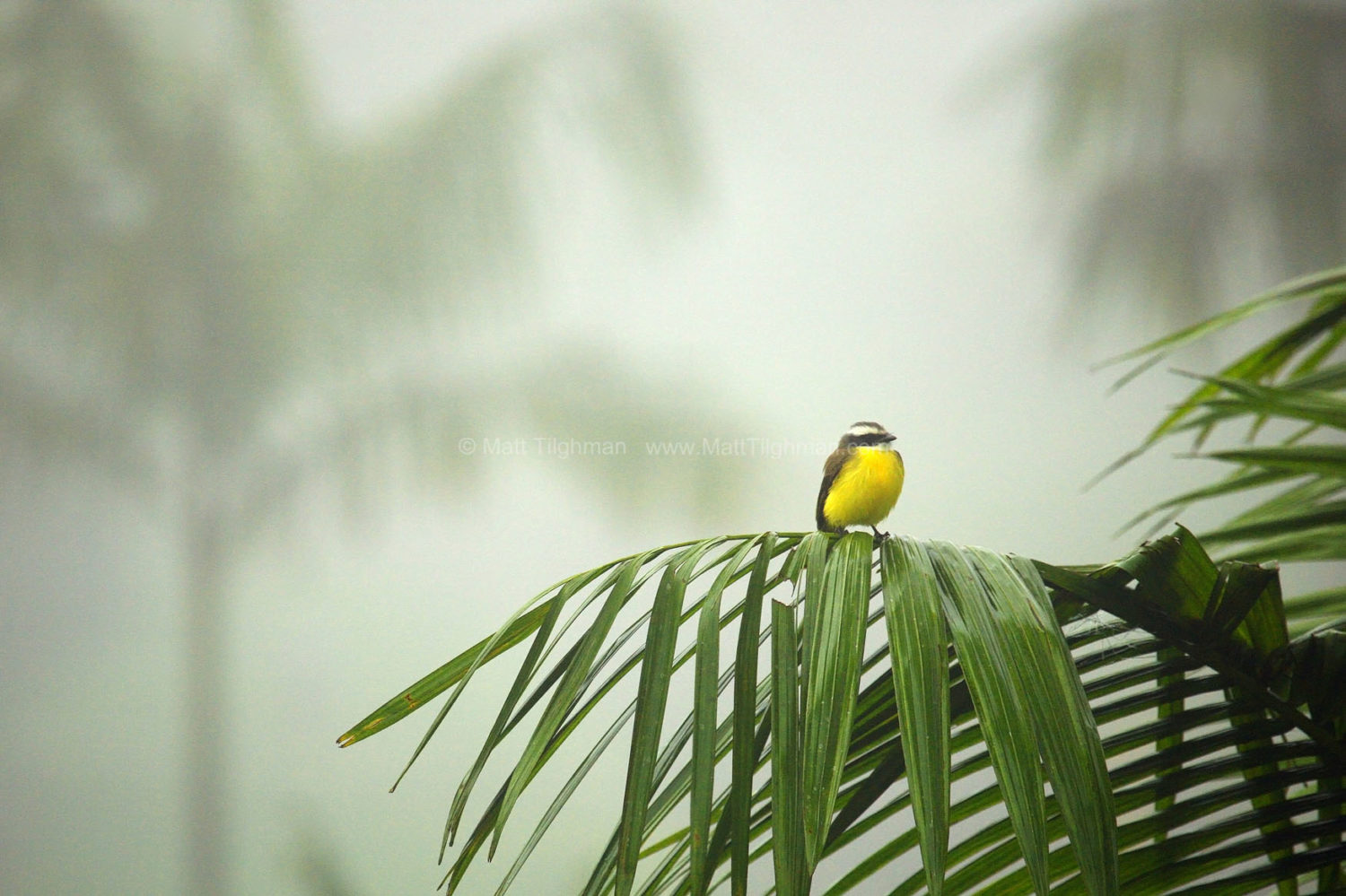 Fine art stock photograph of a beautiful tropical bird deep within the misty cloud forests of Costa Rica. These jungles are chock-full of flora and fauna.