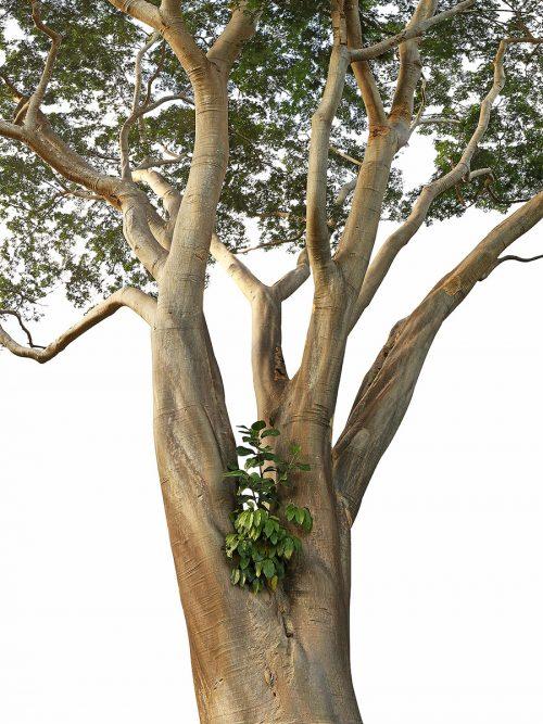 Gigantic specimen of Albizia niopoides tree, isolated on white